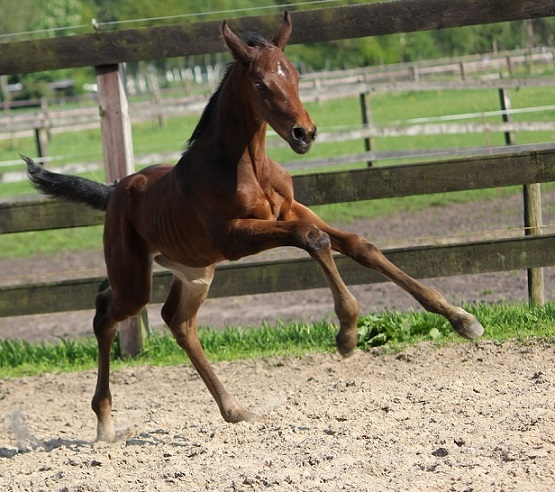 duurste paard ooit